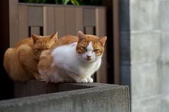 猫さん Cats (takapata) Tags: sony sel90m28g ilce7m2 cat neko 猫さん