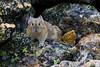 Pika on St. Vrain Mountain (donovancolegrove) Tags: lagomorph summer wild wildlife nature mammal donovan pika ears colegrove nose rmnp rockymountains rocks 2x3