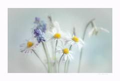 You, my love (Krasne oci) Tags: flowers flowerart spring springtime daisies snowdrops painterly happy love photographicart artistic texturedphoto white blueflower