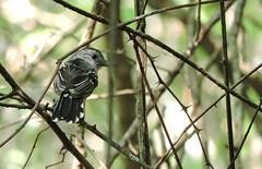 132.Batara-Occidental (Anidados) Tags: bird nature