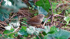 a Wren on the ground (1/2) (Franck Zumella) Tags: bird oiseau wren troglodyte mignon small little petit nature wildlife vie sauvage wood bois forest foret animal wild king roi light lumiere winter hiver colors color couleur red rouge blue bleu green vert