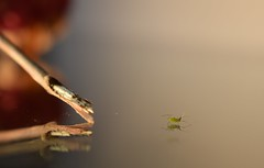 Curious and restless (fdlscrmn) Tags: bug fruits pink green reflection 7dwf macro insect closeup
