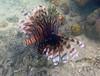 Lionfish (Pterois volitans), Hoga Island, Wakatobi NP (Niall Corbet) Tags: indonesia sulawesi wakatobi hoga island tropical coral reef lionfish pteroisvolitans