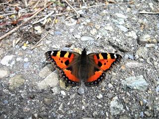Butterfly 1563