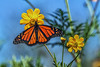 Monarch At The Fulling Station - 102017-100628 (Glenn Anderson.) Tags: insect wings antenna butterfly outdoors nature flight flowers nikon outside animal plant depthoffield spots colorfull waynesboroughpark bokeh closeup