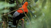 234.1 Rode Rotshaan-20171108-J1711-64730 (dirkvanmourik) Tags: andeancockoftherock aves birdsofperu bosquenublado carreteraamanu gallitodelasrocasperuano nevelwoud peru2017 reisdagcuscomanu roderotshaan rupicolaperuvianus vogel