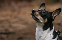 Looking at mum (RUFFlections Photography) Tags: dog dogphotography canoneos eos400d mixedbreed terrier closeup
