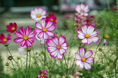 A beautiful display (crafty1tutu (Ann)) Tags: travel holiday 2017 unitedkingdom uk england lythamstannes lancashire town garden flower cosmos pink white crafty1tutu canon5dmkiii canon24105lserieslens anncameron naturescarousel coth coth5