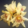 #Chimonanthus #گل_یخ #Ice_flower #gole'yakh (sama.memarian) Tags: iceflower chimonanthus gole گلیخ