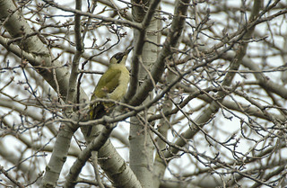 green woodpecker 2006 03 12th Barnes WWT (38)