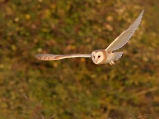Barn Owl (1 of 2)