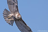Curious George (Red-Tailed Hawk) (Mitch Vanbeekum Photography) Tags: redtailed hawk redtailedhawk flight inflight fly flying upclose closeup wings blue bluesky buteojamaicensis statelinelookout alpine nj newjersey mitchvanbeekum mitchvanbeekumcom canon14teleconvertermkiii canoneos1dx canonef500mmf4lisiiusm