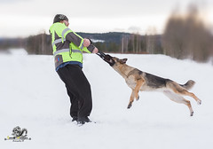 German Shepherd in the snow with man (Geert Weggen) Tags: germanshepherd dog whitebackground cutout sitting cute purebreddog nopeople obedience stickingouttongue trust animal animalbodypart animalhair animalhead animalmouth animaltongue canine colorimage domesticanimals fineartportrait focusonforeground friendship frontview fulllength horizontal lookingatcamera loyalty pets photography portrait snow winter human man bispgården jämtland sweden geert weggen hardeko ragunda