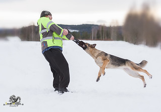 German Shepherd in the snow with man