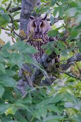 Long Eared Owl (fascinationwildlife) Tags: animal bird owl eule long eared waldohreule predator raptor nocturnal tree forest summer dusk wild wildlife nature natur nordfriesland germany deutschland tiere vogel raubvogel vögel birding