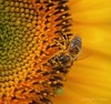 Busy Bee (heatherpierce2) Tags: yellow newengland summer pollen nature sunflower bee bees