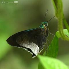 Astraptes alardus (LPJC) Tags: villacarmen manu peru 2016 lpjc butterfly astraptesalardus skipper