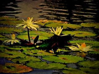 INDONESIEN, Im botanischen Garten von Bogor, Seerosen,serie, 1065/9525