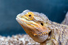 Bearded Dragon (Dan Elms Photography) Tags: reptile reptiles coldblooded abbeyaquatics beardeddragon lizard canon 5d 24105 24105mml