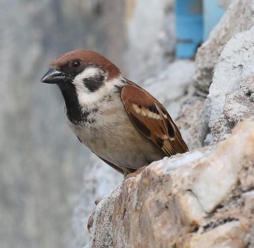 Tree Sparrow @ Hua Hin