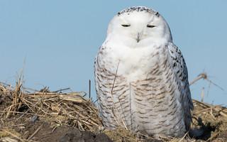 Snowy Owl • Illinois