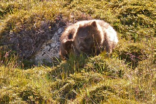 Common Wombat, having a scratch.
