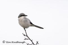 Great Grey Shrike (ron.hindhaugh) Tags: bird shrike