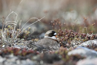Adult Semipalmated Plover, Charadrius semipalmatus, nesting on the ground among arctic plants