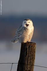 雪鶚 / Snowy Owl (阿棋 Looking@Nature) Tags: 雪鶚 snowyowl buboscandiacus