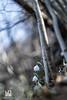 COPPIA (Lace1952) Tags: fiore bucaneve coppia vita primavera sottobosco sfocato bokek panasonic lumixg orestonmejer 50mmf1e8