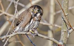 northern pygmy-owl (glaucidium gnoma) (punkbirdr) Tags: kusmin nikon d500 500mmedafsif4 tc14eii14x punkbirdrphoto birds birding northernpygmyowl glaucidiumgnoma