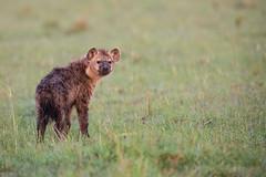 Hyena Puppy (Thomas Retterath) Tags: adventure wildlife abenteuer safari natur nature kenya africa afrika masaimara thomasretterath spottedhyaena hyaena crocutacrocuta hyäne hyaenidae raubtiere predator carnivore säugetier mammals animals tiere tüpfelhyäne hyaenapuppy coth5