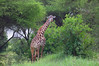 Giraffe (ashockenberry) Tags: nature naturephotography wildlife wildlifephotography giraffe travel safari tarangire trees bush ashleyhockenberryphotography
