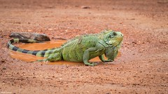 Iguana (izaletetavares) Tags: iguana lagarto lizard animals animais animal ambiente amazing animalplanet árvore fauna flora free foto flickr fofo selvagem cool canon cute verde vida vidaselvagem green galhos wildlife wildlifephotography wild world wildife wildlifephoto wildnature wikiaves brasil nature natureza naturephotography naturephotos new nice nationalgeographic national natural nanatureza meioambiente mato livre life liberdade izaletetavares photo photography preservação photos preserve herp herpetologia herpetology herpetofauna herpeto herping répteis réptil rio rioaraguaia luizalves araguaia