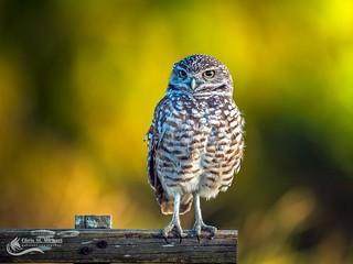 Burrowing Owl in the golden hour