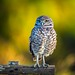 Burrowing Owl in the golden hour (Chris St. Michael) Tags: burrowingowl owl birdofprey sunset wildlifephotography wildlife naturephotography nature owls bokeh