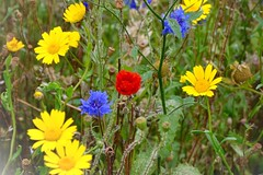 Wildflowers (Mags McLaren) Tags: 7daysofshooting week34 multiples colourfulthursday