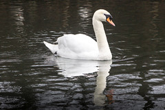 Swan (RA Oliver) Tags: reddish vale greater manchester stockport uk united kingdom england great britain