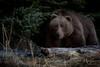 Buskin Boar (wyrickodiak_9) Tags: kodiak alaska brown bear grizzle boar island beach mammal predator apex wildlife