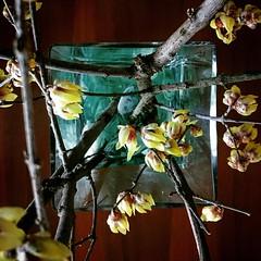 Calicantus (︎) Tags: andrea lazzarotto calicantus fiori inverno profumo winters flowers scent square
