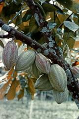 Vogelkop-cacao-38-034b (Stichting Papua Erfgoed) Tags: papua papoea nieuwguinea nederlandsnieuwguinea papuaheritagefoundation irianjaya stichtingpapuaerfgoed cacao