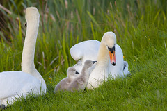 Swans with Cygnets (Fishlady_UK) Tags: swans cygnets abbey redditch