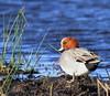 WIGEON (Bradders62) Tags: wigeon sigma150500mmf563dgoshsmlens canoneos7d greylake somerset southwest somersetlevels nature wildlife birds wildbirds britishbirds wildfowl ducks