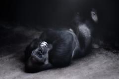 Gorilla'n and Chillin (brian.pipe) Tags: nikon d500 80 400 afs gorilla dallas zoo texas tx dfw