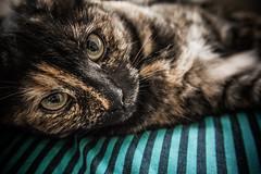Blackie's interrupted nap (Melissa Maples) Tags: istanbul turkey türkiye asia 土耳其 nikon d3300 ニコン 尼康 nikkor afs 18200mm f3556g 18200mmf3556g vr kadıköy caferağa moda autumn blackie animal kitty cat