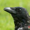Krähenkopf (Norbert Kiel) Tags: fliegen vogel gefieder feder grün schwarz krähe kopf schnabel auge nokiart