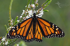 Monarch Butterfly (VS Images) Tags: monarchbutterfly danausplexippus butterflies butterfly insects insect wildlife wildlifephotography australianwildlife australianinsects insecta australianbutterflies australia nsw nature ngc naturephotography vsimages vassmilevski olympus olympusau getolympus m43