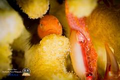 REDHEAD CORALGOBY (20mm) (Sonja Ooms) Tags: animal aqaba black clown coral echincephalu egypt fish goby gulfofaqaba macro nature nuweiba orange paragobiodon paragobiodonechincephalu redheadcoralgoby sinai underwater redhead