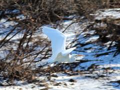 White Egret 001 (Val Hightower) Tags: egret lakeconway conway mayflowerarkansas mayflower arkansas