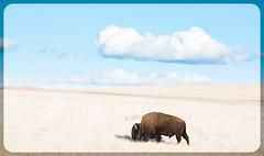 Bison Explord (Jami Bollschweiler Photography) Tags: pronghorn deer moonlight bison antelope island state park utah wildlife photography american wigeon duck nikon female west desert